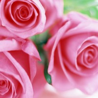 Want to make your Roses (or any flower) last longer?